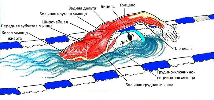 Мышцы, которые работают во время плавания
