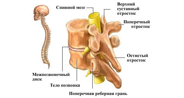 Боль в пояснице появляется, обычно, из-за болезней позвоночника. Ниже приведен список самых распространенных