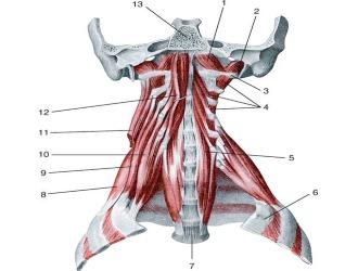 Мышечный аппарат шейного отдела позвоночника обеспечивает удержание головы и ее повороты