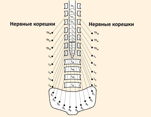 Локализация боли зависит от пораженного нерва в пояснице