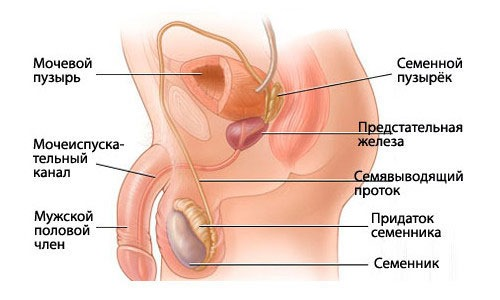 Воспалительные процессы в органах таза часто являются причинами появления болевого синдрома как у женщин, так и у мужчин