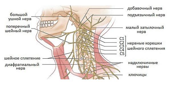 Чаще всего защемление нервов происходит в позвонках (С1, С2, С3, С4, С5)