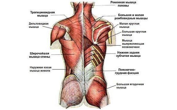 При занятиях с эспандером можно задействовать абсолютно все мышцы спины