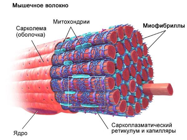 При застуженной мышце спины воспаляются и отекают миофибриллы