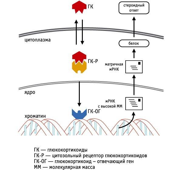 Механизм действия Метипреда основан на активации глюкокортикод-отвечающего гена