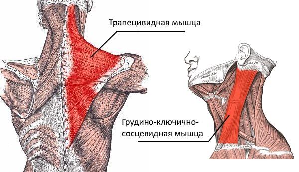У взрослых часто кривошея развивается из-за недоразвитости или напряжения двух шейных мышц