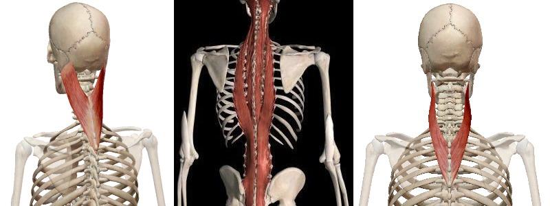 Верхний слой глубоких мышц