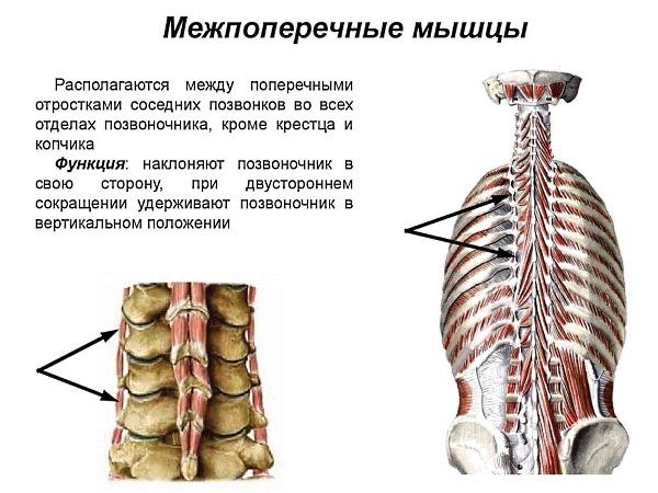 Межпоперечные мышцы отвечают за наклоны каждого из отделов позвоночника