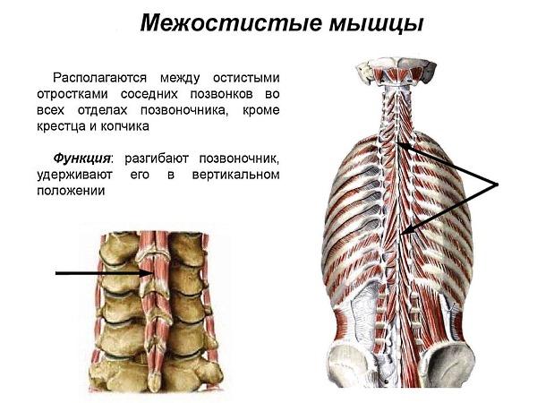 Межосистые мышцы приводят каждый отдел позвоночника в разогнутое состояние