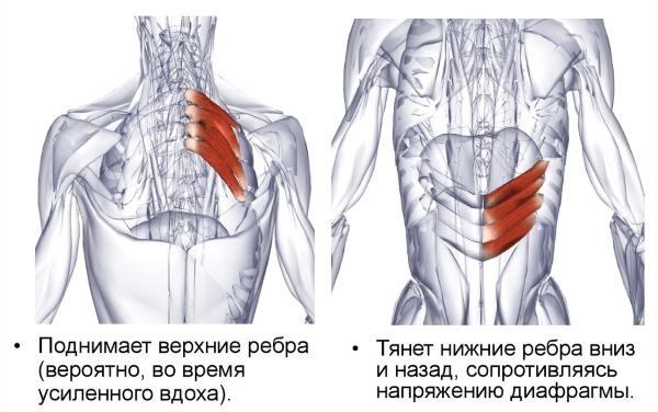 Задние зубчатые мышцы приводят в действие ребра
