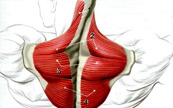 Трапецивидная мышца состоит из нескольких частей