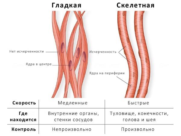 Токи Бернара воздействуют на гладкую и скелетную мышечную ткань