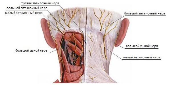На затылке находится два нерва - большой и малый