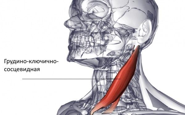 Изображение - Суставы и мышцы шеи samomassazh-grudino-klyuchichno-sostsevidnoj-myshtsy-izbavit-ot--qO1506976119