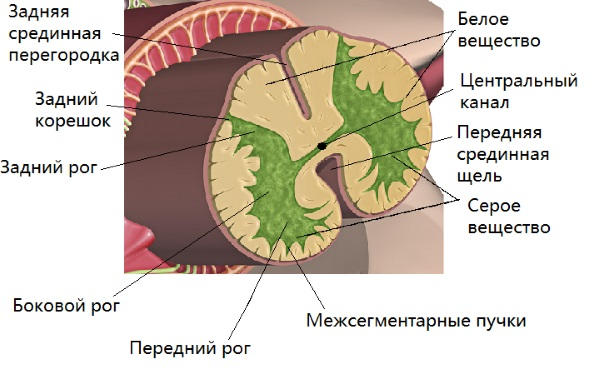 Вирус полиомиелита поражает серое вещество спинного мозга
