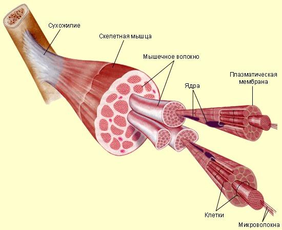 Не вылеченный миозит может привести к атрофии мышц