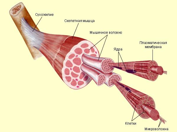 Мышечные спазмы классифицируются относительно длительности возникновения