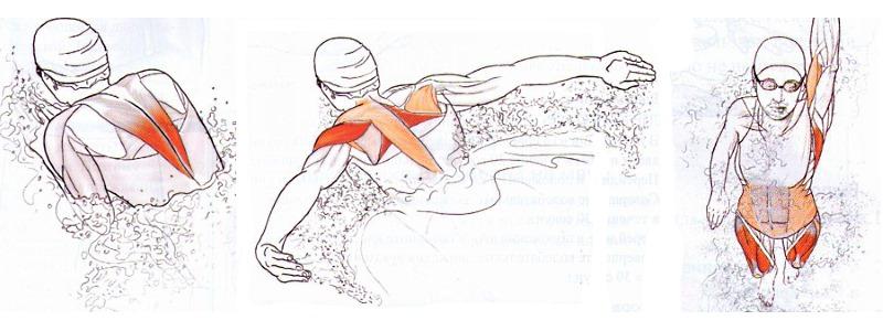 Особое значение имеет плавание для мышц спины