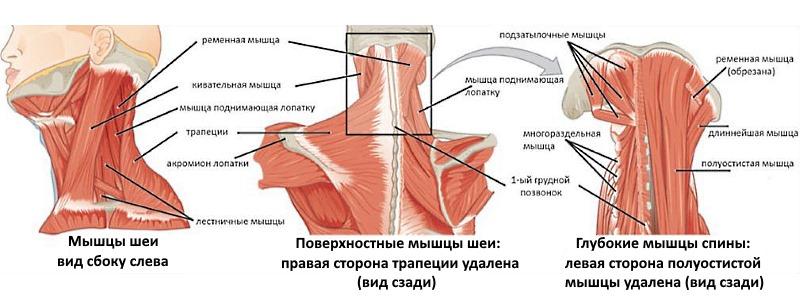 Чаще всего боли в шее и затылке возникают по причине мышечных расстройств. Обратите внимание на то, болезни каких мышц могут характеризоваться такими симптомами
