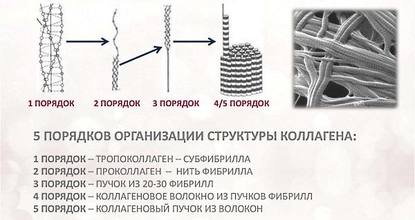 Коллаген является основой соединительной ткани